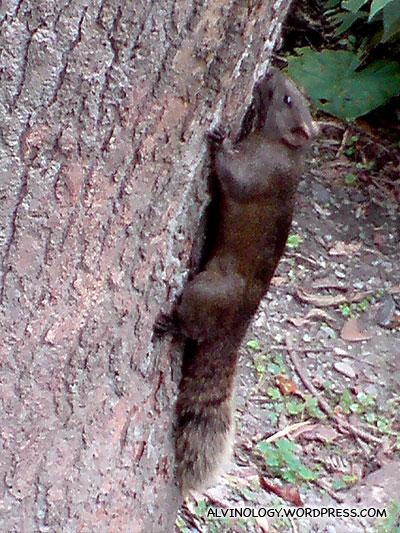Fat squirrel 1