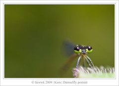 7.5 Damselfly ... green BG ...(black or green)