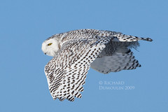 Snowy owl in flight (RichardDumoulin) Tags: winter bird nature de snowy wildlife hiver owl neige snowowl snowyowl harfang harfangdesneiges vosplusbellesphotos