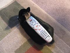 It's time to TV ! (Rubyran) Tags: rabbit bunny conejo chewy coelho lapin kaninchen coniglio rubyran kuneho