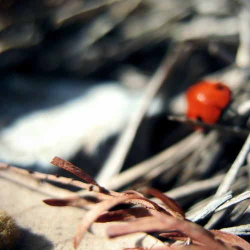 Ladybug III