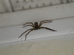 Big Hunter Spider