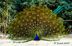 Colours/Dance of Joy (Rashdi) Tags: pakistan peacock spiritofphotography flickraward newsaeedabad