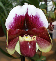 DSC01349 (***Images***) Tags: orchid flower flora pflanze loveit orchidee blüte orquideas theloveshack flowersmacroworld llovemypic awesomeblossoms anuniverseofflowers mallmixstaraward