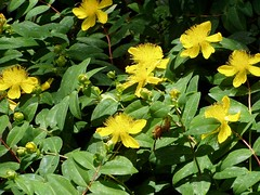 Portland state university invasive plant survey invasive and risk descriptions as potentially invasive description evergreen groundcover grows to 12 inches opposite leaves are rich green bright yellow flowers have mightylinksfo