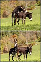 Ops ..... ci hanno scoperto (magicoda) Tags: italy sexy love ass sex loving italia fuck donkey voyeur surprise amore mule ops sorpresa muli veneto asini opss opsss magicoda davidemaggi maggidavide