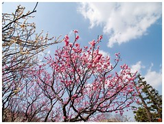 Japanese Apricot 090310 #04