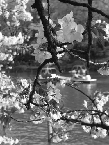 善福寺公園 桜sakura