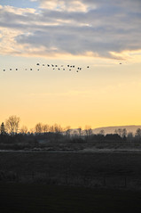 Candian Geese (bockmanca) Tags: ridge dike canadiangeesemaple