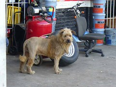 lionII