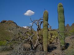 Memorable Trail Marks (tlparker9) Tags: cloud saguaro deadwood desertscape everydayissunday