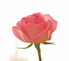 Happy Mother's  Day ! (Wils 888) Tags: pink usa flower rose closeup happy newjersey interestingness nikon day blossom nj mothers explore bud gardenstate cranford happymothersday d90 nikond90