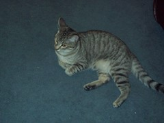 Lily (DragonSEL) Tags: cat lily tabby lazy