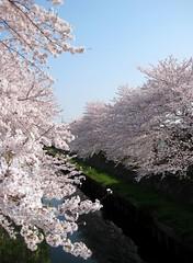 cherry blossom (toricodelma) Tags: plant flower japanese cherryblossom
