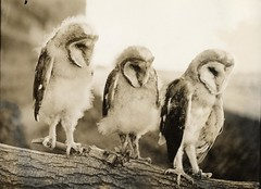 Half-grown Barn Owls (OSU Special Collections & Archives : Commons) Tags: birds owls barnowls intrigued flickrhome whatahoot prettybirds threeowls osuarchives williamlfinleymanuscriptcollection commons:event=commonground2009 dc:identifier=archives234