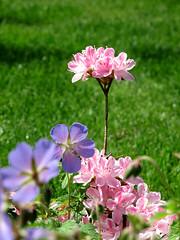 Azaleea Japonika