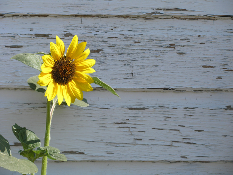 Wall with Sunflower