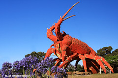 'Larry the Lobster' - Kingston, South Australia (Black Diamond Images) Tags: january australia kingston southaustralia bigthings limestonecoast lobsterboats princeshighway bdi larrythelobster biglobster aussieicon touristatraction australianbigthings australianicons capejaffalighthouse blackdiamondimages southernrocklobster lobsterfishery iconsofaustralia southaustraliatouristattractions southaustraliantouristattractions australiantouristattractions southaustralianicons