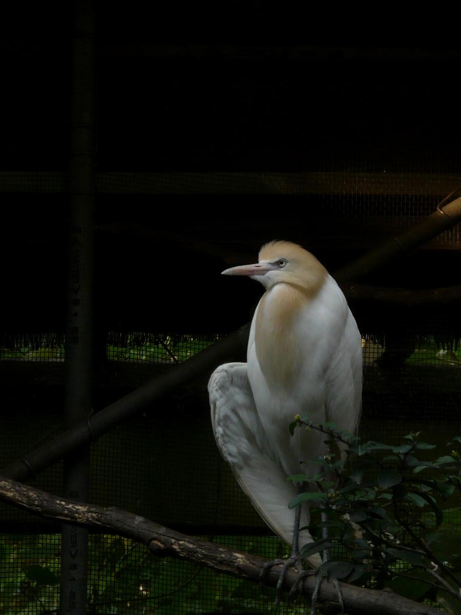 Cattle Egret (Bubulcus ibis) - 黃頭鷺