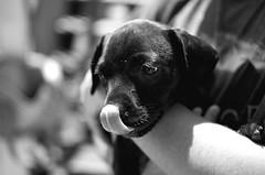 Puppy. (Have Hope Photography) Tags: atlanta portrait blackandwhite dog white black dylan beautiful tongue 35mm dark puppy georgia nikon d70 boobs bokeh atl rica human villa f18 villarica hughes hulsey aperture2 conenr dylanhulsey connerhughes