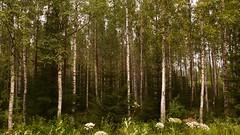 birch in finland (paologmb) Tags: tree nature forest finland branch pattern branches bosque birch leafs albero betulla paologamba paologmb moyanit abukij ppa53e