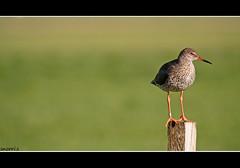 _______(')__ (snorri.s) Tags: green bird nature birds canon eos 350d iceland fugl soe redshank awesomeshot coth bej stelkur platinumphoto citrit goldenheartaward snorris