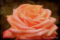 Everything's Coming Up Roses (SLEEC Photos/Suzanne) Tags: orange flower texture rose flora nikon bloom d300 naturesfinest fantasticflower flickrsfantasticflowers simplythebestflowers dragondaggerphoto
