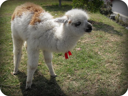 Pelusa the alpaca