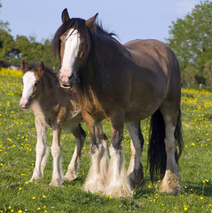 Tom Price's Field - Ivy's Mom & Half Brother (Dog Is Love) Tags: uk england horse wales mare stallion equine draft equus foal gypsyvanner gypsyhorse gypsycob tomprice welshgypsycobs tompricesbaymare ivysdam