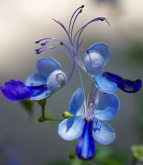 blue trio... (PintosPics) Tags: blue flower macro canon outstandingshot awesomeblossoms t1i
