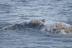 DSC06944 Grey Whale Blowholes