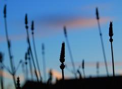 lavender sunset (*Psy