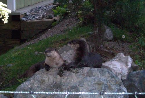 StoneZoo_62009_Otters