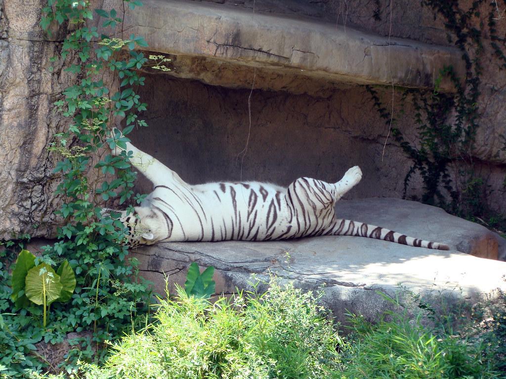 DSC06457 White Bengal Tiger Audubon Zoo