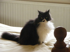 Clyde (monkeywing) Tags: white black cat clyde longhair tuxedo