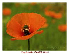 Escolteu ... (Maisse) Tags: flowers camp naturaleza flores nature bokeh natura campo flors amapolas xtiva roselles hbw