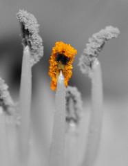 2nd selective color (MnMCarta) Tags: white black flower color macro nature yellow yard canon close florida picture stamen polen jacksonville pollen bnw selective xsi