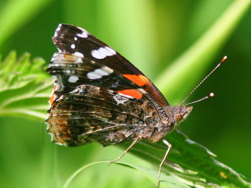 Red Admiral Butterfly 20100516