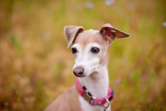 Sadie Explores (Proleshi) Tags: dog greyhound 50mm eyes dof bokeh sadie stare mansbestfriend gazing gaze k9 italiangreyhound perra miniaturegreyhound d300s 50mm14afs proleshi