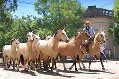 La madrina gateada (Eduardo Amorim) Tags: horses horse southamerica argentina criollo caballo cheval caballos cavalos pferde herd cavalli cavallo cavalo gauchos pferd pampa hest hevonen chevaux gaucho  amricadosul hst gacho  campero amriquedusud provinciadebuenosaires  gachos  sudamrica sanantoniodeareco suramrica amricadelsur  areco sdamerika gregge crioulo troupeau caballoscriollos herde criollos  tropillas  pampaargentina camperos americadelsud tropilhas tropilla  crioulos cavalocrioulo americameridionale tropilha caballocriollo campeiros campeiro eduardoamorim cavaloscrioulos iayayam yamaiay pampaargentino