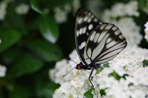 Hestina persimilis japonica