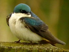Tree Swallow (orencobirder) Tags: flickrexport swallows smallbirds digiscope