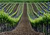 VinesA (romeo.john) Tags: green canon vineyards fields italy2009 updatecollection ucreleased