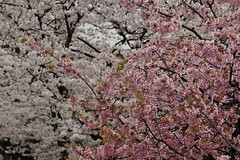 Blooms (owen4green) Tags: pink trees brown white color tree japan contrast nikon cherryblossom sakura cherryblossoms blooms kanazawa plumblossom ishikawa plumblossoms interestingenss nikkor70200mmf28gvr d3s greenkenrokusakuradayandnight