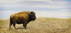 American Bison (Gordilly) Tags: mammal nebraska bison bovidae mammalia cherrycounty bisonbison sigma120400mmf4556apodgos americanbision fortniobraranwr t1004399