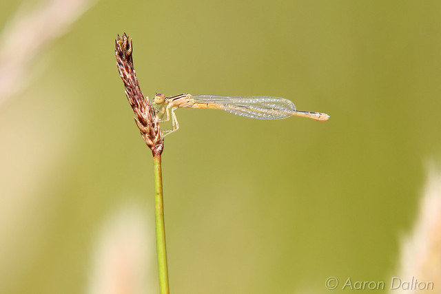 Damsel Fly on a Reed