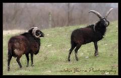 Horny, Big Time Horny (John Barrie Photography) Tags: horns horny rams masonohio johnbarrie johnbarriephotography hornyrams ramswithbighorns velocityphotography