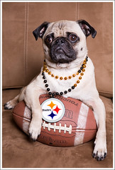 Go Steelers! ([Christine]) Tags: dog pug superbowl wookie 552 pittsburghsteelers mywinners impressedbeauty 52weeksfordogs