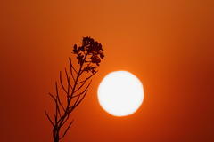 Alone (Spice  Trying to Catch Up!) Tags: life camera travel sunset red sun white plant black flower color art nature beautiful silhouette japan canon geotagged photography eos photo amazing interesting flora kiss asia flickr image wordpress creative picture vivid blogger livejournal explore photographs photograph   portfolio vox      gettyimages facebook ornage multiply larawan rapeblossoms       twitter colorpicture creativeimages mywinners abigfave colorimages digitalx anawesomeshot theunforgettablepictures  goldstaraward  2009