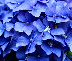 So Blue (hydrangea) (amazon2008) Tags: seattle blue flower parks hydrangea 1001nights masterphotos mywinners aplusphoto canonefs1755mmf28isusmlens mindigtopponalwaysontop